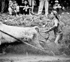 Bull Racing in Rice Paddy 18586083644[H]
