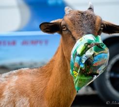 Goats 15731730625[H]