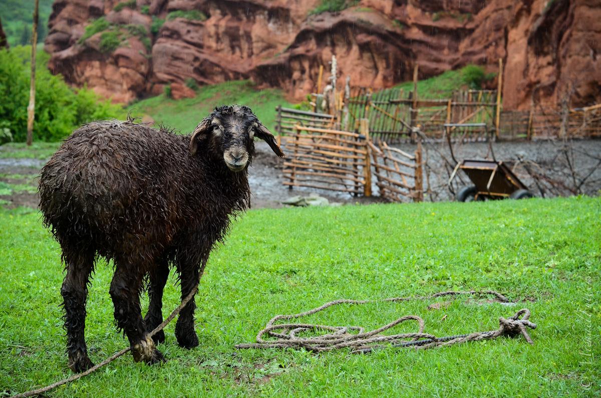 Soaked Sheep