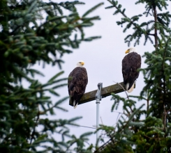 Canada - Bald eagles are everywhere on Haida Gwaii 9754357402[H]