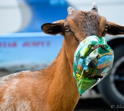 Indonesia - Goats 15731730625[H]