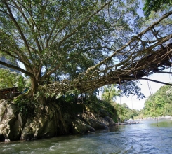 Indonesia - Living Root Bridge 18972816512[H]