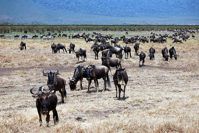 Wildebeest in Ngorogoro Crater