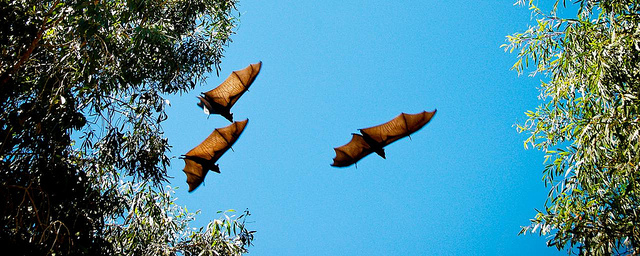 Flying fox fruit bats