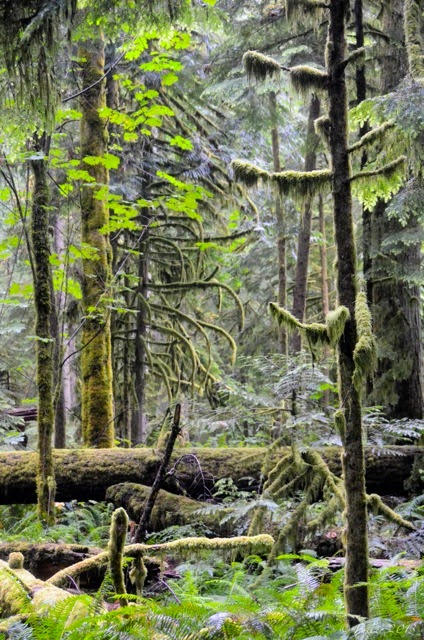This scene struck me as remarkably beautiful, as soon as I arrived in Cathedral Grove. I'd probably paint it. If somebody hadn't invented the camera.