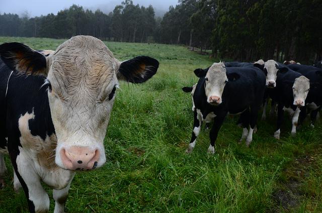 cows in a paddock in the rain in tasmania