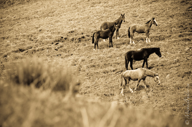 Wild horses in the valleys of Kyrgyzstan