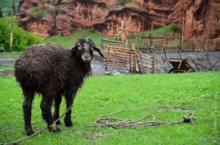 A rainy sheep outside a lonely hut in the mountain valleys of Jeti Oghuz, near Karakol.