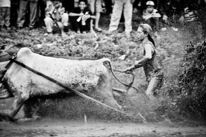 Bull Racing in Rice Paddy 18586083644[H]