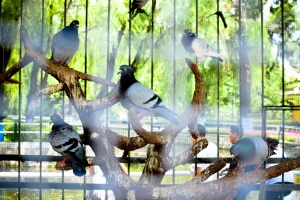 Even the pigeons are in cages