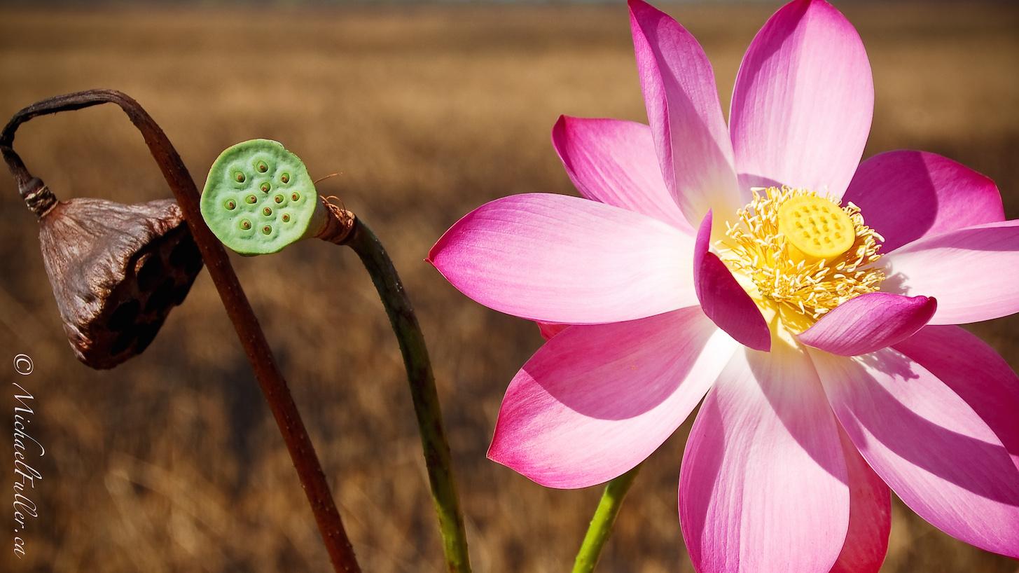 Australia - The Life of a Lotus 4954369414[H]