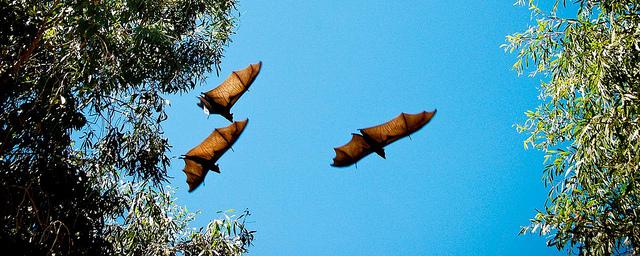 Flying fox fruit bats