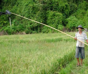 living scarecrow in a rice field