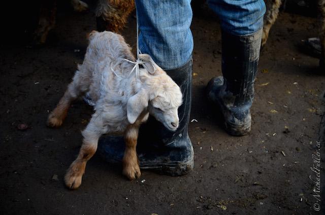lamb at animal bazaar in Kyrgyzstan